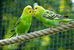 budgerigars-331834_640_opt