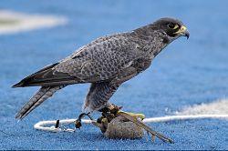 falcon-590772_640_opt
