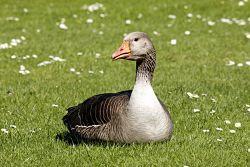 goose-472185_1280_opt