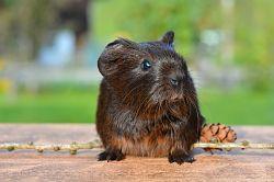 guinea-pig-498157_640_opt