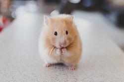 hamster-690108_640_opt