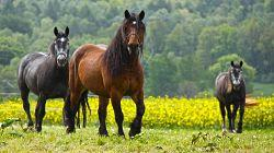horses-484004_1280_opt