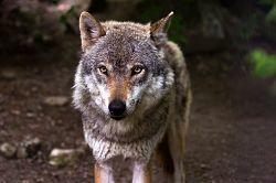 wolf-635063_640_opt